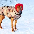 Stock Photo: Dog for walk in winter