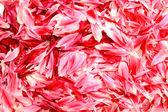 Rose petals — Stok fotoğraf