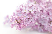 Lilac — Stock Photo