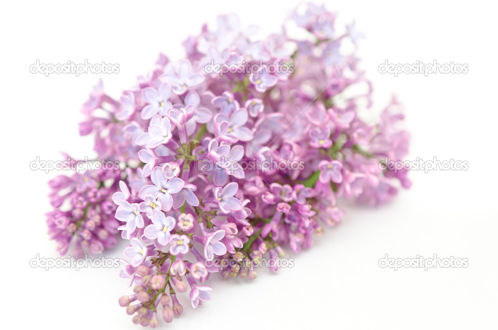 Lilac isolated on white background — Stock Photo #10258129