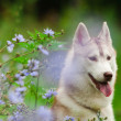Husky — Stock Photo