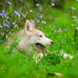 Husky — Photo