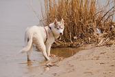 Husky siberiano — Fotografia Stock