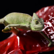 Green chameleon closeup - Stock Photo