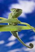 Green chameleon closeup — Stock Photo