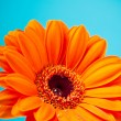Orange Daisy Gerbera Flower on blue background — Stock Photo