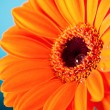 Orange Daisy Gerbera Flower on blue background — Stock Photo #9353367