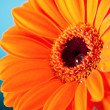 Orange Daisy Gerbera Flower on blue background - Photo