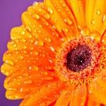 Orange Daisy Gerbera Flower on purple background — Stock Photo #9353601