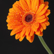 Orange Daisy Gerbera Flower on black background — Stock Photo