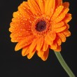 Orange Daisy Gerbera Flower on black background — 图库照片