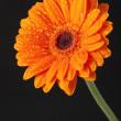 Orange Daisy Gerbera Flower on black background — Stock Photo #9353739