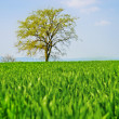 Green corn field and lonely tree — Stockfoto