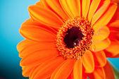 Fleur de gerbera daisy orange sur fond bleu — Photo