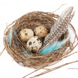 Quail eggs — Stock Photo #10030043