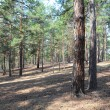 Summer pine forest — Stock Photo