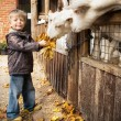 Royalty-Free Stock Photo: Boy feeding goats.
