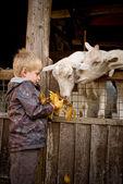 Boy feeding goats. — Stock Photo