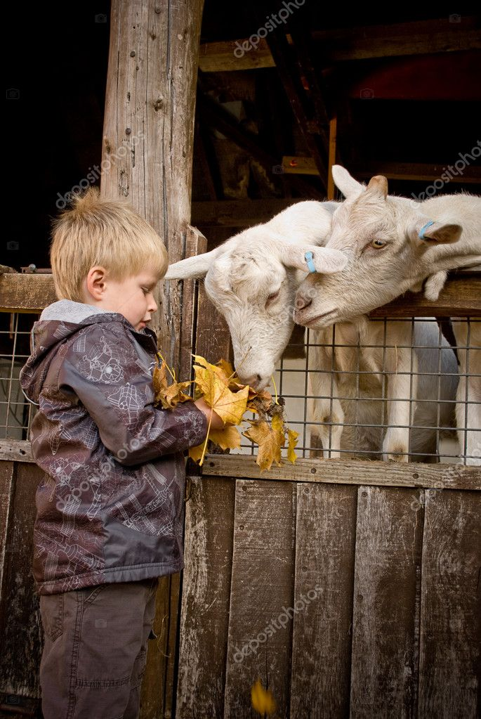 Little boy feeds goats a handful of fallen maple leaves.  Stock Photo #10024079