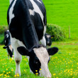 Friesian Milking Cow. - Stock Photo