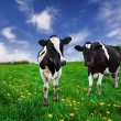 Stock Photo: Dairy Cows.