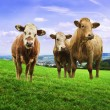 Stock Photo: Jersey cows.