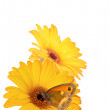 Gerbera daisies and butterfly. — Stock Photo
