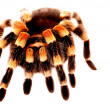 Red Knee Tarantula — Stock Photo