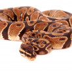 ������, ������: Royal Python