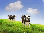 Friesian Cows — Stock Photo