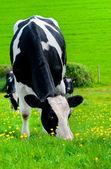 Friesian Milking Cow. — Stock Photo