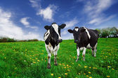 Dairy Cows. — Stock Photo