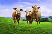 Jersey cows. — Stock Photo