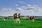 Friesian cows. — Stock Photo