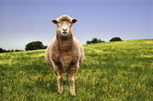 A lone sheep in a green field — Stock Photo