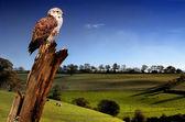Falcon and landscape — Stock Photo