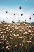 Flax macro. — Stock Photo