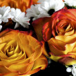Stock Photo: Two Salmon colored roses