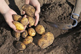Potato Harvest — Stock Photo
