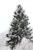 Spruce in snow — Stockfoto