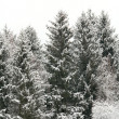 Spruce in snow — Stock Photo