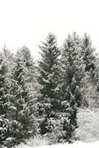 Spruce in snow — Stock Photo