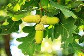 Three oak acorns — Stock Photo
