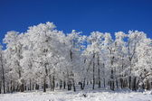 Snow Forest on Clear Blue Sky — Stock Photo