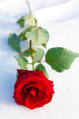 Red rose on snow. — Stock Photo