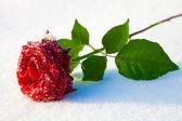 氷の赤いバラ — ストック写真
