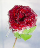 Red rose in ice on a frost. — Stock Photo