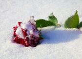 Red rose on a frost. Winter. — Stock Photo