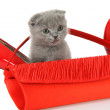 Royalty-Free Stock Photo: British gray kitten