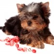 Yorkshire Terrier. — Stock Photo #10133682